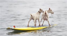 120713-surfing-goats-02-hmed-12p.380;380;7;70;0